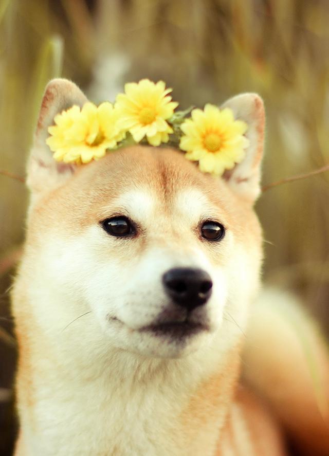 Shiba-Inu in Daisy Crown