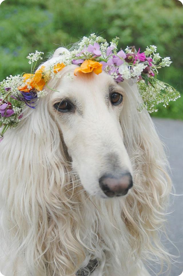 Afghan Hound in Flower Crown