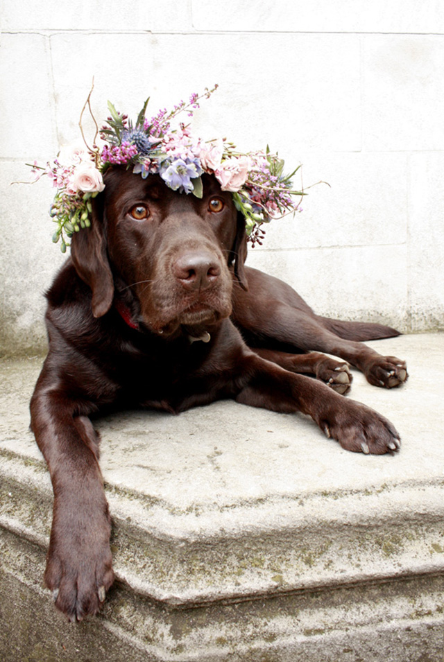 chocolate lab in flower crown