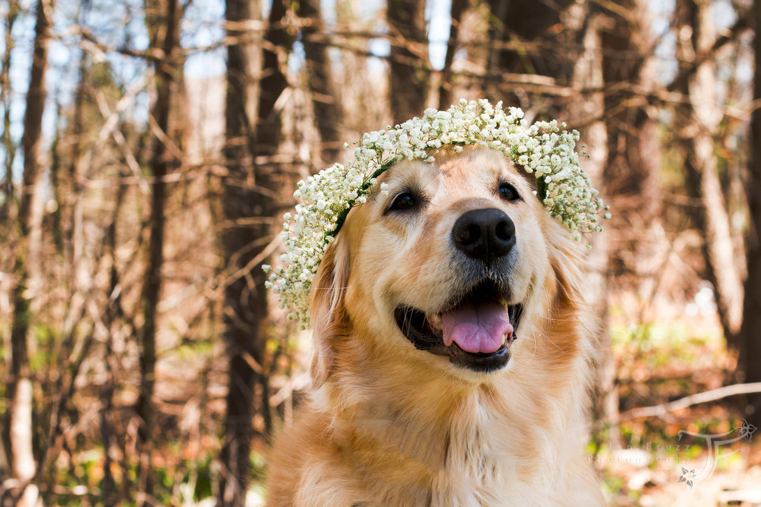 Golden retriever wearing crown of baby's breath