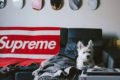 small white poodle on supreme couch